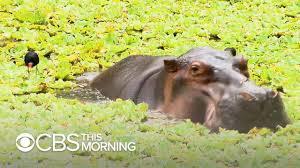 <b>Pablo Escobar's</b> hippos keep multiplying and Colombia doesn't ...
