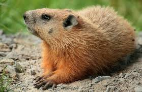 getting rid of groundhogs mothballs.  Groundhogs In Getting Rid Of Groundhogs Mothballs