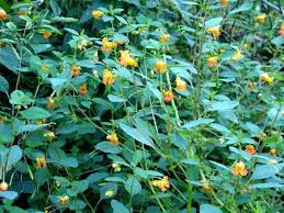 Image result for jewelweed free images
