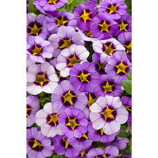 proven winners superbells evening star calibrachoa live plant superbells evening star calibrachoa live plant light purple flowers a yellow star