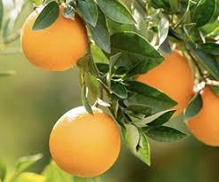Registrar também que as folhas dos citros são importantes órgãos de reserva, assim uma poda. Laranja Pera Do Rio Citrus Sinensis