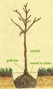 Best 25 Guava Tree Ideas On Pinterest  Pineapple Guava Prune When Do You Plant Fruit Trees