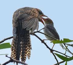 Suara burung kedasih, wiwik, emprit gantil jantan dan betina asli dari alam ♬ asepdroid download mp3. Suara Mistis Burung Kedasih Wartajoglo