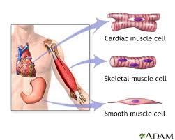 Types Of Muscle Tissue Medlineplus Medical Encyclopedia Image
