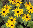 Blackeyed Susan plant
