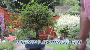 52 how to prune chinese elm bonsai trees for beginners series chinese elm bonsai tree