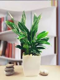 Evergreen Office Details About Evergreen Peace Lily Spathiphyllum Indoor Office Plant In Gloss White Milano Pot