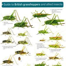 Fsc British Grasshoppers Identification Chart Peoples