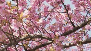 Nature Flower Cherry Blossom Background Same Day Flower