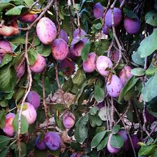 plum tree purplelove color garden village livelovezeaitre zaitreh nahr ibrahim