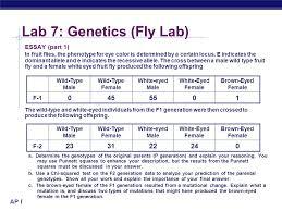 ap biology lab genetics fly lab ap biology lab genetics  ap biology lab 7 genetics fly lab essay part 1 in