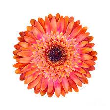 pink painting orange gerbera daisy by amy kirkpatrick