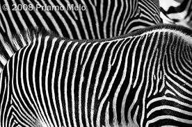Zebra Patterns Simple Zebra Patterns By Priamo Melo Digital Photographer