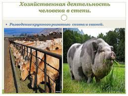 Презентация на тему ЛЕСОСТЕПИ И СТЕПИ Природно хозяйственные  5 Хозяйственная деятельность человека в степи Разведение крупного рогатого скота и свиней Разведение крупного рогатого скота и свиней