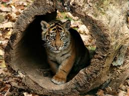 cute baby tigers wallpapers. Beautiful Wallpapers Little Tigers Images Tigers Wallpapers HD Wallpaper And  Inside Cute Baby T