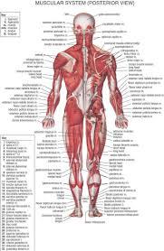 Musculature Anatomy Chart Hd Pic Human Anatomy Muscular