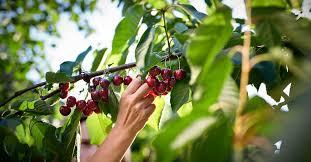 7 Impressive Health Benefits of <b>Cherries</b>