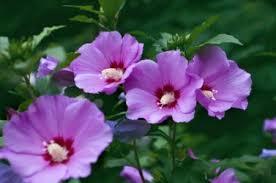 hibiscus essays purple hibiscus essays
