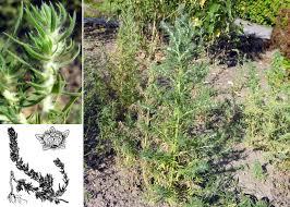 Bassia laniflora (S.G.Gmel.) A.J.Scott - Portale sulla flora del basso ...
