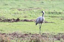 garden cranes. Sunnest Garden Cranes Crane At South Marsh 14 Gardenia Perfume
