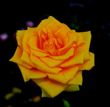 yellow rose beauty wallpapers hd free