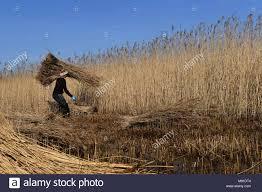 Reed cutter Paul Eldridge carries bundles of reed on the Norfolk ...
