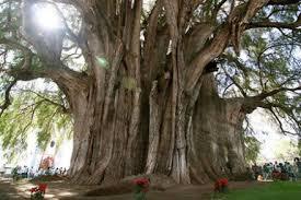 Hasil gambar untuk pohon troll raksasa
