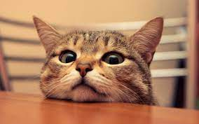 Funny Cat Wallpapers on WallpaperDog