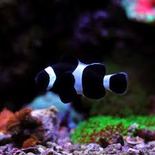 Darwin Clownfish Amphiprion Ocellaris