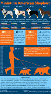 Miniature American Shepherd Infographic Created By Bertroms