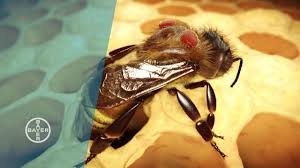 Varroa Mites Why Bees Are Dying