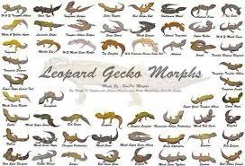 Leopard Gecko Morph Chart Morphs Leopard Gecko Habitat Leopard Gecko Morphs Lepord