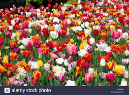 display of tulips at the world s largest bulb flower garden at keukenhof gardens in april 2018 lisse holland the netherlands