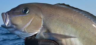 blueline tilefish. Wonderful Tilefish On Blueline Tilefish B