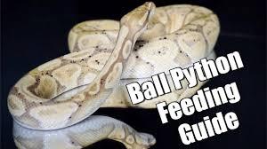 Ball Python Feeding Guide