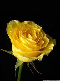 Yellow Rose On Black Background Ultra ...