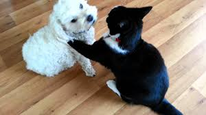 cats and dogs play fighting. Funny Cat Dog Play Fight Turns Into Cuddle Very Touching To Cats And Dogs Fighting