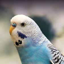 Budgie Parakeet Personality Food Care Pet Birds By