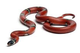 milk snake size snakes species profile page