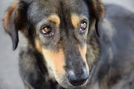 Lung Cancer In Dogs Causes Signs Treatment Canna Pet