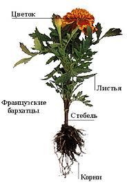 Растения Ботаника Физиология Лекарственные травы Фото Статьи  Цветок Листья Стебель Корни Растения Ботаника Фото