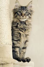 Maine Coon Cat Breed Information Pictures Characteristics