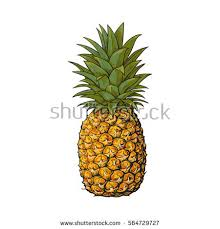 realistic pineapple drawing. whole, unpeeled, uncut pineapple, sketch style vector illustration isolated on white background. realistic pineapple drawing