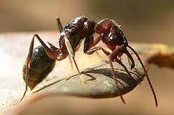 """Résultat de recherche d'images pour """"fourmis reine"""""""