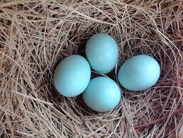 eastern bluebird egg color