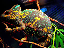 Color Changing Wallpaper Veiled Chameleon Changing Colors Wallpaper