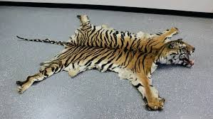 elegant tiger skin rug and faux small contemporary