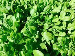 The Kitchen Gardener Spinach Popeye And The Prince The Kitchen Gardener