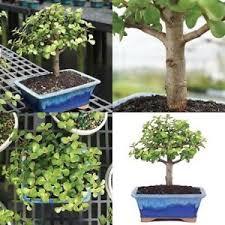 office bonsai tree. Image Is Loading Dwarf-Jade-Bonsai-Tree-Plant-Indoor-or-Office- Office Bonsai Tree