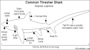Tiger Shark Classification Chart Thresher Shark Enchanted Learning Software